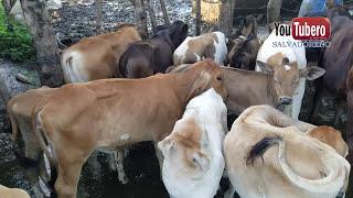 Download Como se ordeñan las vacas en los potreros de Chalatenango El salvador - videos de el salvador Video