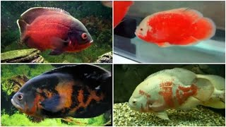 Download 12 Different Types of OSCAR fish Video