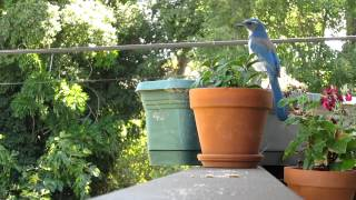 Download Western scrub jay whispers, squawks, and steals Video