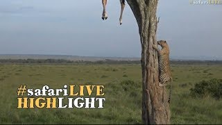 Download Leopard with a hoisted giraffe kill! Video