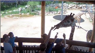 Download Cheyenne Mountain Zoo Outdoor Giraffe Cam1 Video