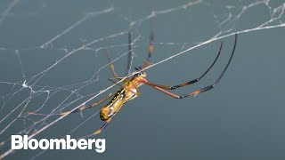 Download This Creature's Silk is Stronger Than Steel Video