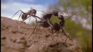 Download Ants | Attenborough: Life in the Undergrowth | BBC Video