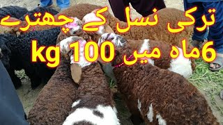 Download Turkey Sheep At very cheep Rates in luden mandi Video
