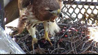 Download Big Red Eats A Starling On Cornell Hawks Cam – May 21, 2018 Video