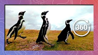 Download March of the Magellanic Penguins | Wildlife in 360 VR Video
