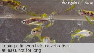Download How Zebrafish Regrow Fins: A Cell-by-Cell Recap Video