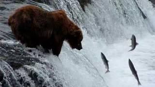 Download Brooks Falls Bears, Katmai AK Video