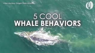 Download 5 cool gray whale behaviors captured by drone Video