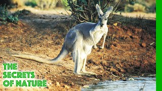 Download Wildest Australia - The Secrets of Nature Video