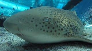 Download Shark in captivity gives 'virgin birth' Video