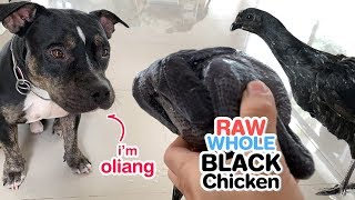Download Pit Bulls eat RAW Whole BLACK Chickens [ASMR] | Happy Thanksgiving & Black Friday 2018 Video