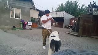 Download Реакция на шерсть и мочу волка привезенную из зоопарка или волк против волкодава 5. Video