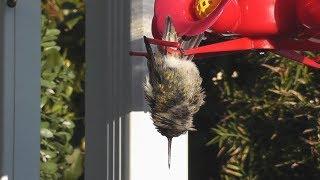 Download Hummingbird Sleeping While Hanging Upside Down Video
