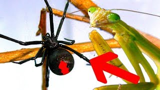Download Deadly Spider Vs Giant Praying Mantis Part 2 Educational Spider Study Video
