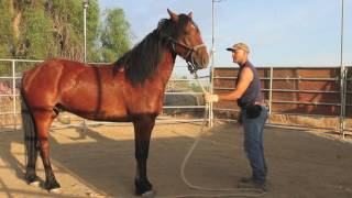 Download Training a wild mustang horse ~ groundwork in the first 30 days Video