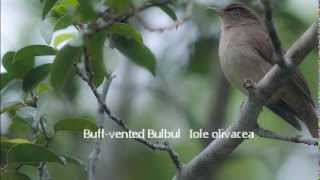 Download Sounds of Bulbuls in Thailand Video