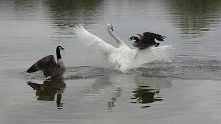 Download Swan attack ! Geese protect their chicks. Video