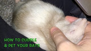 Download How to Cuddle/Pet Your Rats Video