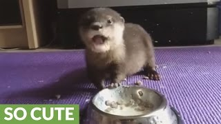 Download Baby otter adorably eats his lunch Video