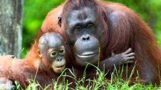Download Palm Oil: What is Palm Oil and whats all the fuss about? Video 1 Video