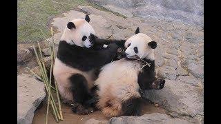 Download 【なかよく奪い合い♪】桜浜&桃浜のたけのこタイム❤【ふたごパンダ】Giant Panda -Ouhin&Touhin-☆ bamboo shoot♪ Video