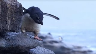 Download Young Rockhopper Penguin's First Swim Threatened by Predator | BBC Earth Video