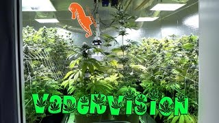 Download Mid Flower Check Up for the Cannabis Grow Op! 🍁 Video