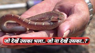 Download किसानों सावधान.. अब ये सांप बहुत ज्यादा निकलेंगे | Snake released into the forest from Ahmednagar Video