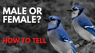 Download How To Tell Male And Female Blue Jays Apart - Is It Even Possible? Video