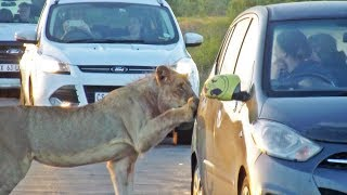 Download Lion Versus Car's Door! Video