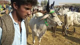 Download Kankrij cows ki mandi rates in talhar cattel markit by ijaz riaz mastoi Video
