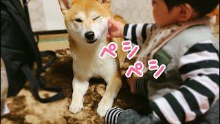 Download 赤ちゃんから目が離せない柴犬 Dog Babysitting Video