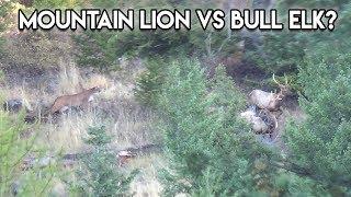 Download Mountain Lion stalks two Bull Elk in N.W. Montana Video