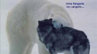 Download Urso Polar x Huskie Siberiano Video