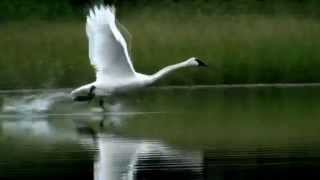 Download Trumputer Swan Taking Off - Slow Motion Video