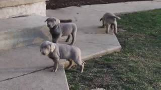Download Silver Labrador Puppies For Sale Video