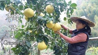 Download 山里柚子长得很大个,柚子皮当碗,做一个柚子炒饭,真香! Video