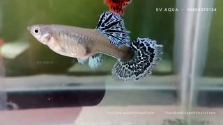 Guppy Fish Farm, All Varieties Of Guppy Fish For Sale Free Download