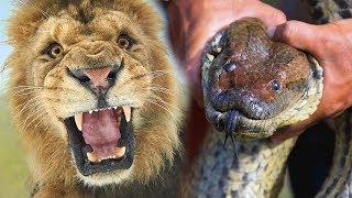 Download कौन जीतेगा महाकाल एनाकोंडा और शेर की लड़ाई में? Giant Anaconda Vs Lion - Who Would Win? Video