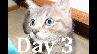 Download Day 3: Socializing a Feral Kitten Video