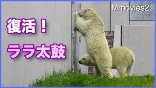 Download 【長編】親子げんかから仲直りまで 復活ララ太鼓 Polar Bears Video