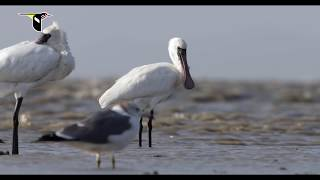 Download Filming Migratory Shorebirds on the Yellow Sea Video