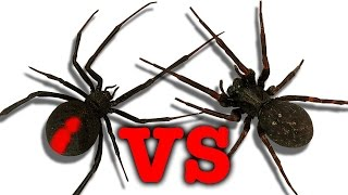 Download Redback Spider Vs Black House Spider Touch Taste Kill Video