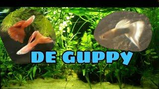 Download De GUPPY, wat moet je weten? //Nickey// Video