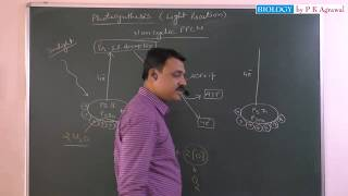 Download photophosphorylation and light reaction of photosynthesis Video