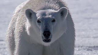 Download Polar Bear Stalks and Attacks Seal | BBC Earth Video