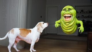 Download Funny Dogs vs Slimer Prank: Funny Dogs Maymo & Potpie Video