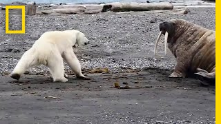 Download Mother Polar Bear, Desperate for Food, Tests Walrus | National Geographic Video