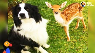 Download Rescued Baby Deer Grows Up With Dogs | The Dodo Odd Couples Video